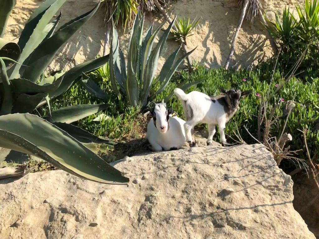La ferme du Dolmen, une chèvre et son chevreau