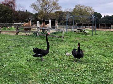 La ferme du Dolmen, cygnes noirs et lamas