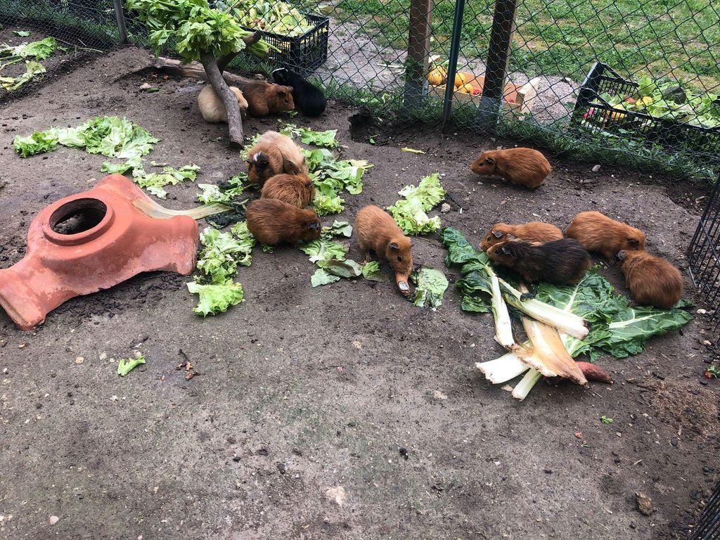 La ferme du Dolmen, le repas des cochons d'inde
