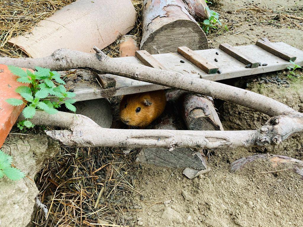 La ferme du Dolmen, les cochons d'inde