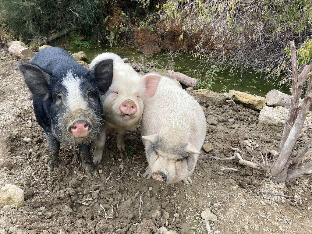 La ferme du Dolmen, les cochons