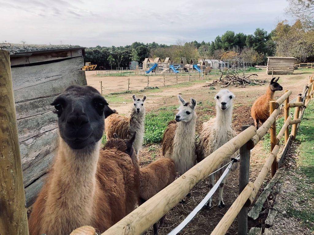 La ferme du Dolmen, les lamas